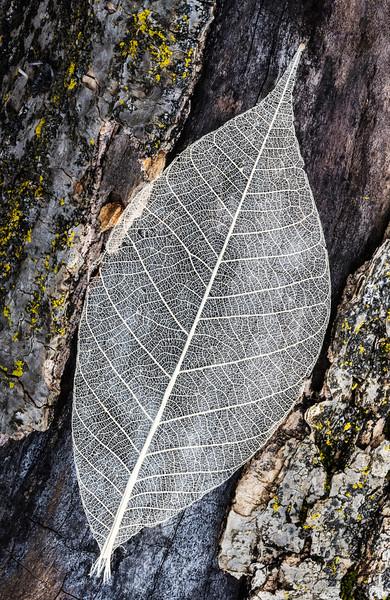 Skeleton Leaf On Tree Trunk