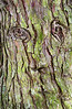 Face In The Tree Bark