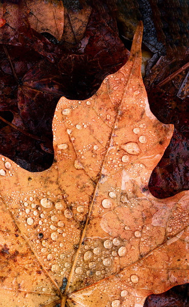Raindrops On Autumn Leaf