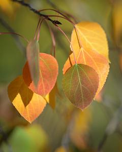 Fall Aspen Leaves