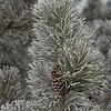 Hoarfrost on Pines, Sun Valley, Idaho