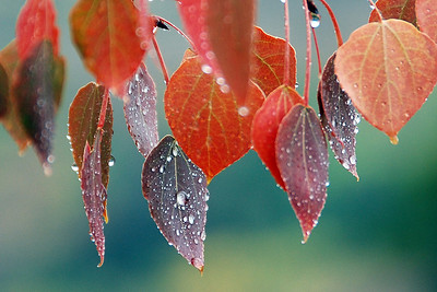 Fall Rain on Aspen Leaves, Sun Valley, Idaho