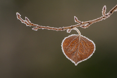 Frosted Aspen Leaf