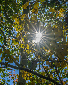 Sun Through Fall Aspen
