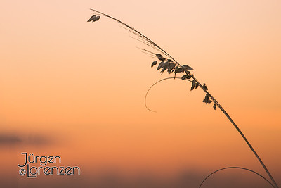 Sea Oat with Sunset