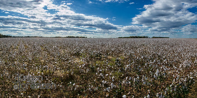 Cotton Fields, SC.
