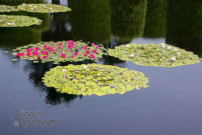 Water Lilies on Reflecting Pond Normandy American Cemetery
