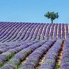 Lavender Field with Lone Tree, Provence
