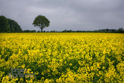 Raps Field with Lone Tree, Germany