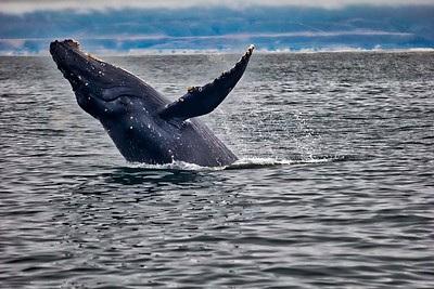 Humpback whale in Monterey Bay