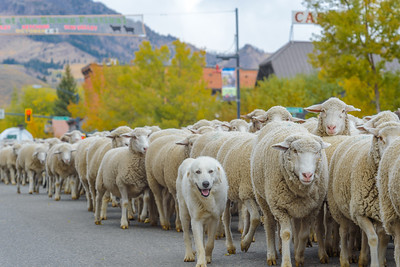 Trailing of the Sheep Festival - 2017