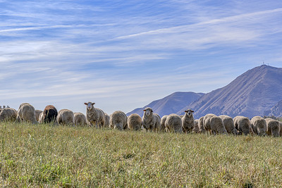 Sheep Trailing 2019, Peregrine Ranch, Hailey, Idaho