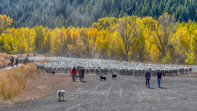 Trailing of the Sheep Festival - 2018