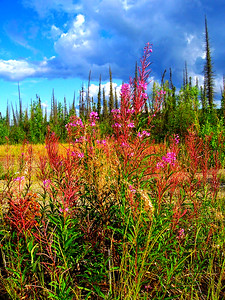 Fireweed along the Dalton Road
