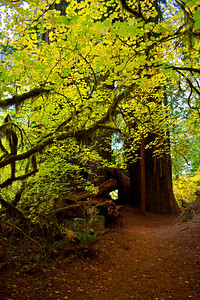 Green Lace in Redwoods National Park