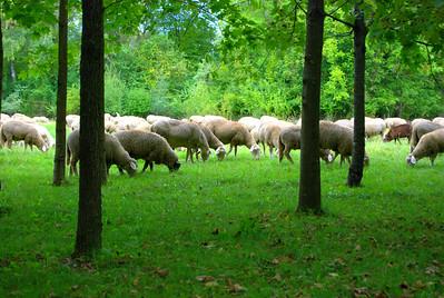 Sheep Flock Grazing, Englische Garten in München