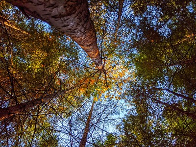 Upward Autumn Gaze, Heyburn State Park, Idaho