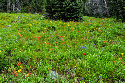 Wildflower Glory, Montana