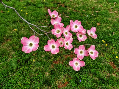 Pink Dogwood Blossoms, Virginia