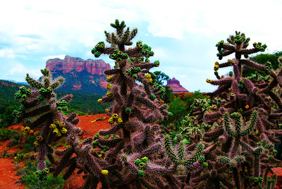 Cholla Cacti with Bell Rock, Sedona, AZ