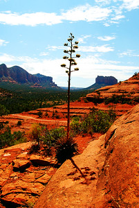 Century Plant near Cathedral Rock, Sedona, Arizona
