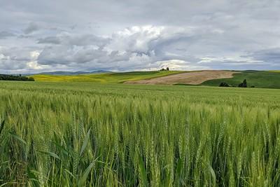 Rolling Fields of Grain, Pullman, Washington