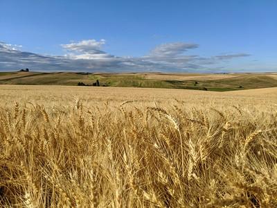 Wheat Field on the Edge of Town, Pullman, Washington