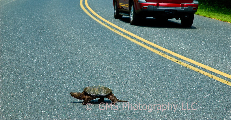 Turtle just finishing crossing middle of Sunnyside Road in Middletown, New Jersey.