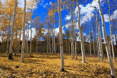 Blue sky through aspen stand