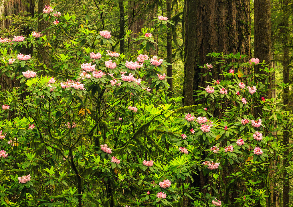 Wild Rhododendrons in the Redwoods