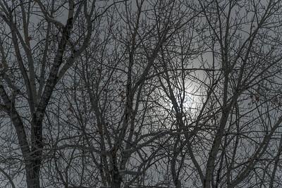 Cottonwood Trees in Winter