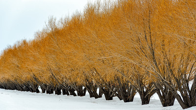 Wind Break Willows, Bellevue Triangle, Idaho