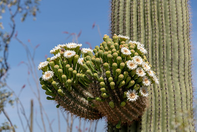 Saguaro Bloom, Saguaro National Park, Arizona