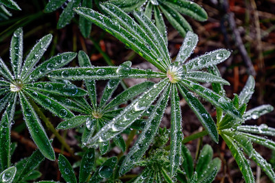 Lupine with Rain Drops