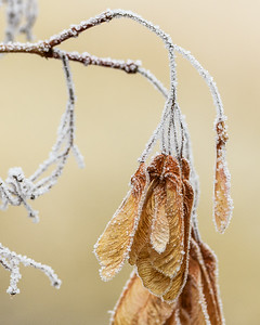 Hoarfrost on Maple Seeds, Idaho