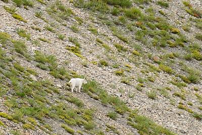 Mountain Goat, Chamberlain Basin