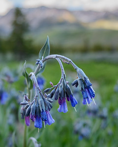 Idaho Bluebell