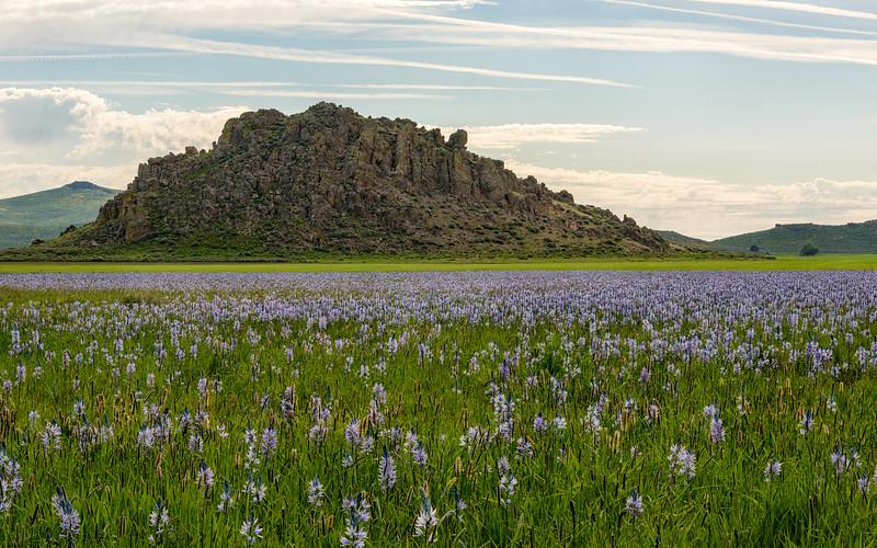 Camas Flowers on the Camas Prairie, Idaho