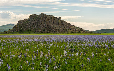 Camas Flowers on the Camas Prairie, Idaho