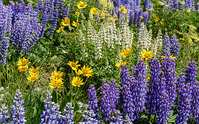 Wildflowers of the Wood River Valley, Idaho #1