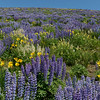 Wildflowers of the Wood River Valley, Idaho #2