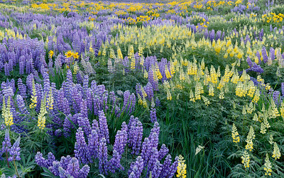 Wildflowers, Colorado Gulch, Sun Valley, Idaho