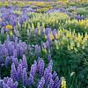 Wildflowers, Colorado Gulch, Sun Valley, Idaho