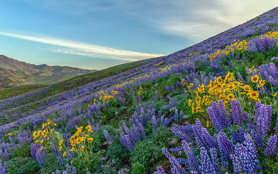Colorado Gulch Wildflowers, Sun Valley, Idaho