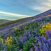 Colorado Gulch Wildflowers, Sun Valley, Idaho