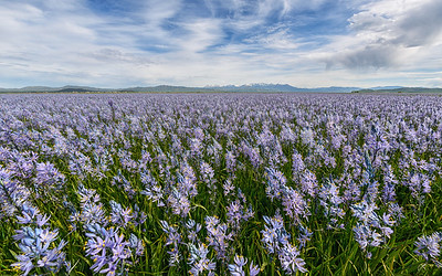 Camas Flowers, Centenial Marsh, Idaho
