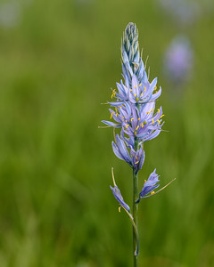Camas Flower, Centenial Marsh, Idaho