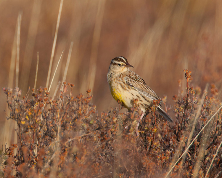 Young Meadowlark at Red Rock Lakes National Wildlife Refuge. Sep 2008