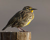 Meadowlark songbird in Red Rock Lakes National Wildlife Refuge, Montana, Sep 28, 2012