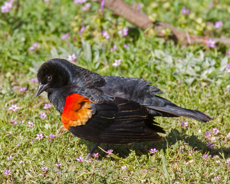 Red-winged blackbird at Silent Valley Resort in the San Jacinto Mountains. March  19, 2013